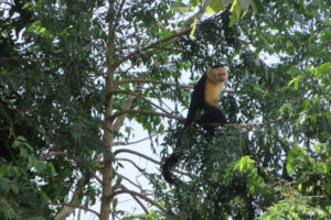 Ein Affe im Baumgipfel